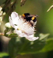 Photograher\PeterWillems: Bee-2-[PW---De-Worm-NL]
